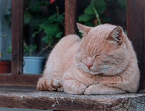 5 motivos para adotar um gato adulto